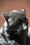 Zamyka w górę bocznego portreta czarna jaguar pantera Fotografia Stock