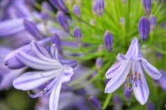 Zamyka w górę bocznego widoku blady purpurowy agapanthus africanus kwiat Obraz Stock