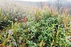 Zamyka w górę brusznicowych jagod na halnym wzgórzu Zdjęcie Royalty Free