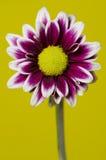 Zamyka w górę chryzantema kwiatów Fotografia Stock