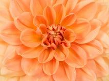 Zamyka w górę chryzantema kwiatu Obraz Stock