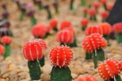 Zamyka w górę Czerwonego kaktusa Zdjęcia Stock