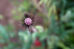 Zamyka w górę deflorate makowego kwiatu Obraz Stock