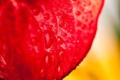 Zamyka w górę fotografii Anthurium kwiaty Fotografia Stock