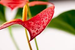 Zamyka w górę fotografii Anthurium kwiaty Zdjęcie Stock