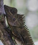 Zamyka w górę iguany na drzewie Obraz Royalty Free