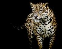 Zamyka w górę Jaguar portreta Obrazy Royalty Free