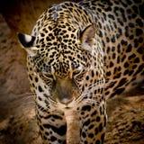 Zamyka w górę Jaguar portreta Zdjęcie Stock