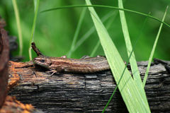 Zamyka w górę jaszczurki relaksuje na drewnie Obraz Stock