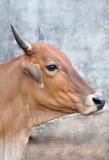 Zamyka w górę krowy twarzy. Zdjęcie Stock