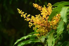 Zamyka w górę Mangowych kwiatów zdjęcia royalty free