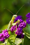 Zamyka w górę modlenie modliszki na purpura kwiacie Fotografia Royalty Free