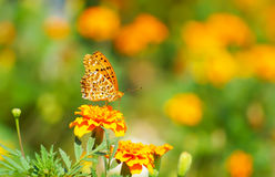 Zamyka w górę motyla na kwiacie, Japonia Obraz Stock