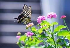 Zamyka w górę motyla na kwiacie, Japonia Fotografia Royalty Free