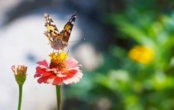 Zamyka w górę motyla na kwiacie, Japonia Zdjęcie Stock