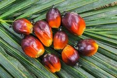 Zamyka w górę oleju palmowego ziarna Obraz Royalty Free