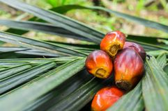 Zamyka w górę oleju palmowego ziarna Obraz Stock