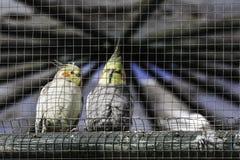 Zamyka w górę pary budgie ptaki w klatce, outdoors Zdjęcia Royalty Free