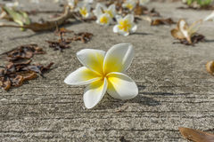 Zamyka w górę Plumeria kwiatu Zdjęcia Stock