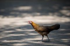 Zamyka w górę portreta bantam kurczak, karmazynka Fotografia Stock