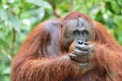 Zamyka w górę portreta Bornean orangutan w dzikiej naturze Obraz Royalty Free