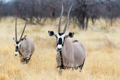 Zamyka w górę portreta Gemsbok, Oryx gazella Zdjęcia Royalty Free