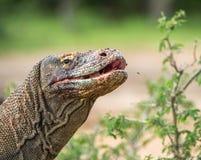 Zamyka w górę portreta Komodo smok z otwartym usta Fotografia Stock