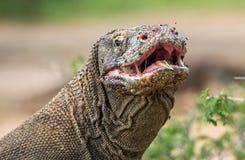 Zamyka w górę portreta Komodo smok z otwartym usta Obraz Stock