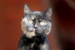 Zamyka w górę portreta tabby figlarki kota przeciw czerwonemu naturalnemu backgroun Obraz Royalty Free