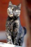 Zamyka w górę portreta tabby figlarki kota przeciw czerwonemu naturalnemu backgroun Fotografia Royalty Free