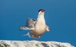 Zamyka w górę Pospolitego Tern na naturalnym niebieskiego nieba tle (mostku hirundo) Obraz Royalty Free