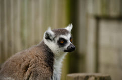 Zamyka W górę profilu ogoniasta lemur twarz horyzontalny Obrazy Stock