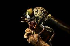 Zamyka w górę Robberfly (Asilidae) Zdjęcie Stock