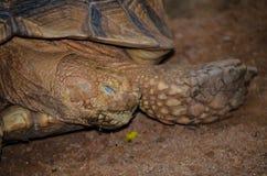Zamyka w górę Sypialnego sulcata tortoise na ziemi Zdjęcie Stock