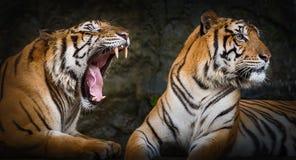 Zamyka w górę tygrysa Zdjęcia Stock