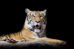 Zamyka w górę tygrysa Zdjęcia Royalty Free