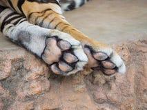 Zamyka w górę Tygrysiej stopy Zdjęcia Royalty Free