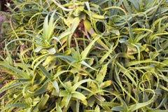 Zamyka w górę widoku agawy bracteosa Obraz Royalty Free