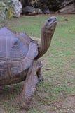 Zamyka w górę widoku stoi Aldabra gigantycznego tortoise z jej cztery silnymi nogami A Zdjęcia Stock