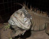 Zamyka w górę wizerunku iguana Fotografia Stock