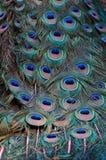 Zamyka w górę wizerunku Pawi ogon Obrazy Royalty Free