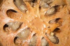 Zamyka w górę wysuszonej bael owoc Obrazy Royalty Free