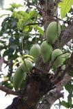 Zamyka w górę zielonego mango na drzewie Obrazy Stock
