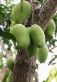 Zamyka w górę zielonego mango na drzewie Zdjęcie Royalty Free
