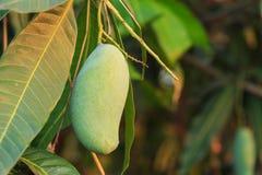 Zamyka w górę zielonego mango na drzewie Obraz Royalty Free