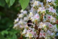 Zamyka w g?r? bumblebee przy okwitni?ciem cisawy drzewo obrazy stock