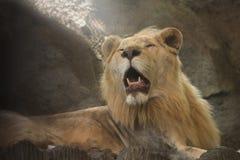 Zamyka w g?r? pi?knego lwa zdjęcia stock