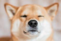 Zamyka w g?r? portreta shiba inu pies Selekcyjna ostro?? Frontowy widok obrazy stock
