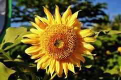Zamyka w g?r? s?o?ce kwiat?w w naturze fotografia stock