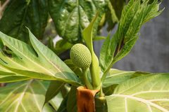 Zamyka w górę młodych breadfruit Obraz Royalty Free